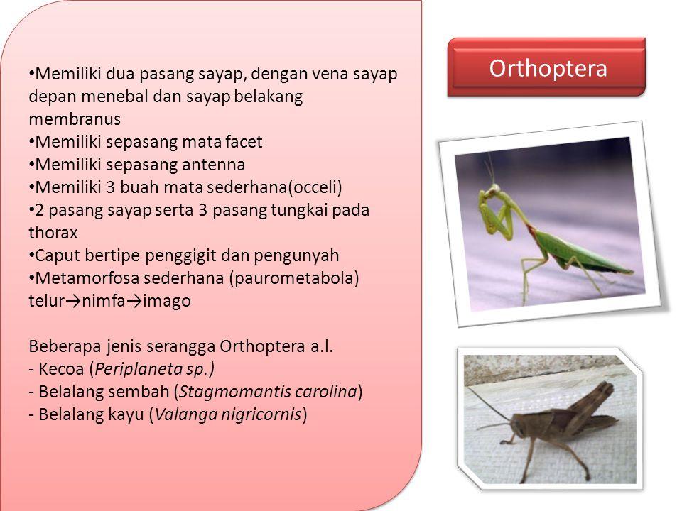 Orthoptera Memiliki dua pasang sayap, dengan vena sayap depan menebal dan sayap belakang membranus Memiliki sepasang mata facet Memiliki sepasang ante