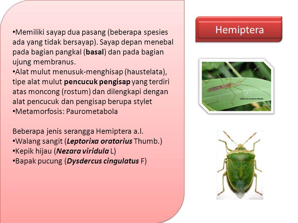 Hemiptera Memiliki sayap dua pasang (beberapa spesies ada yang tidak bersayap). Sayap depan menebal pada bagian pangkal (basal) dan pada bagian ujung