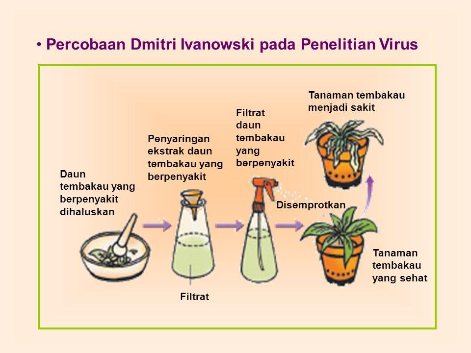 Daun tembakau yang berpenyakit dihaluskan Penyaringan ekstrak daun tembakau yang berpenyakit Filtrat daun tembakau yang berpenyakit Tanaman tembakau m