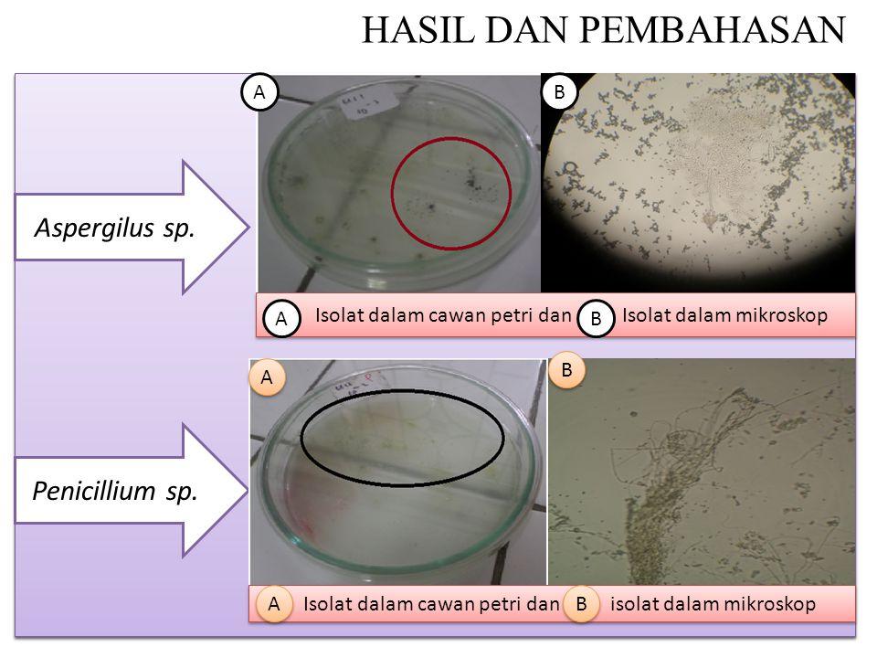 HASIL DAN PEMBAHASAN Isolat dalam cawan petri dan Isolat dalam mikroskop Aspergilus sp.