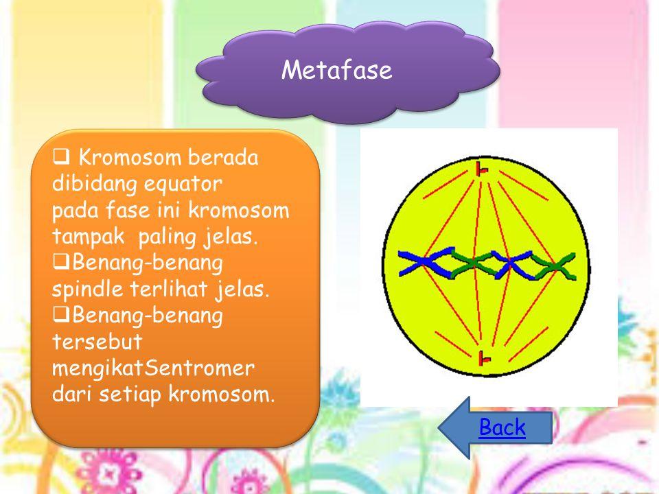 Metafase  Kromosom berada dibidang equator pada fase ini kromosom tampak paling jelas.