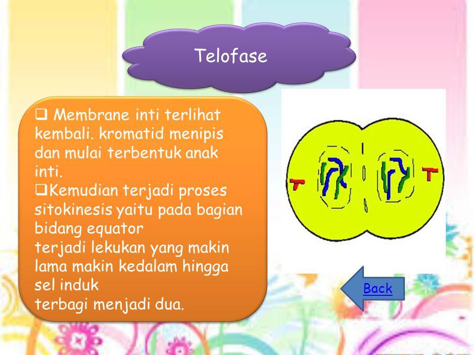 Telofase  Membrane inti terlihat kembali. kromatid menipis dan mulai terbentuk anak inti.