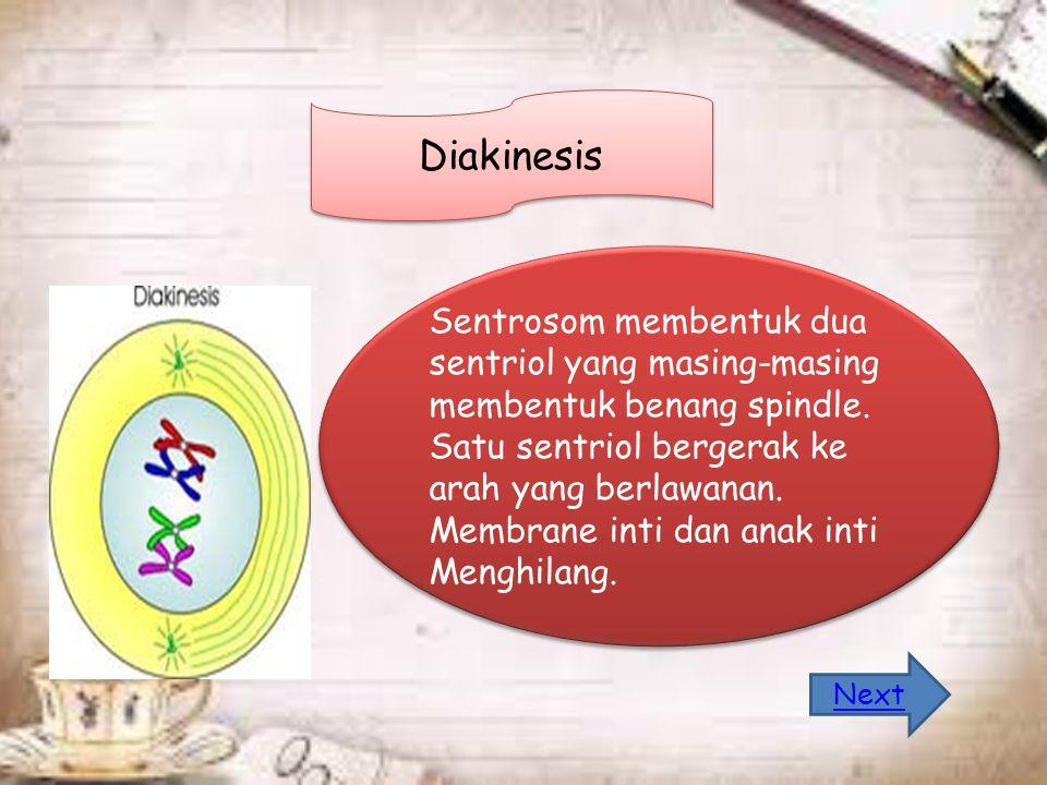 Diakinesis Sentrosom membentuk dua sentriol yang masing-masing membentuk benang spindle.