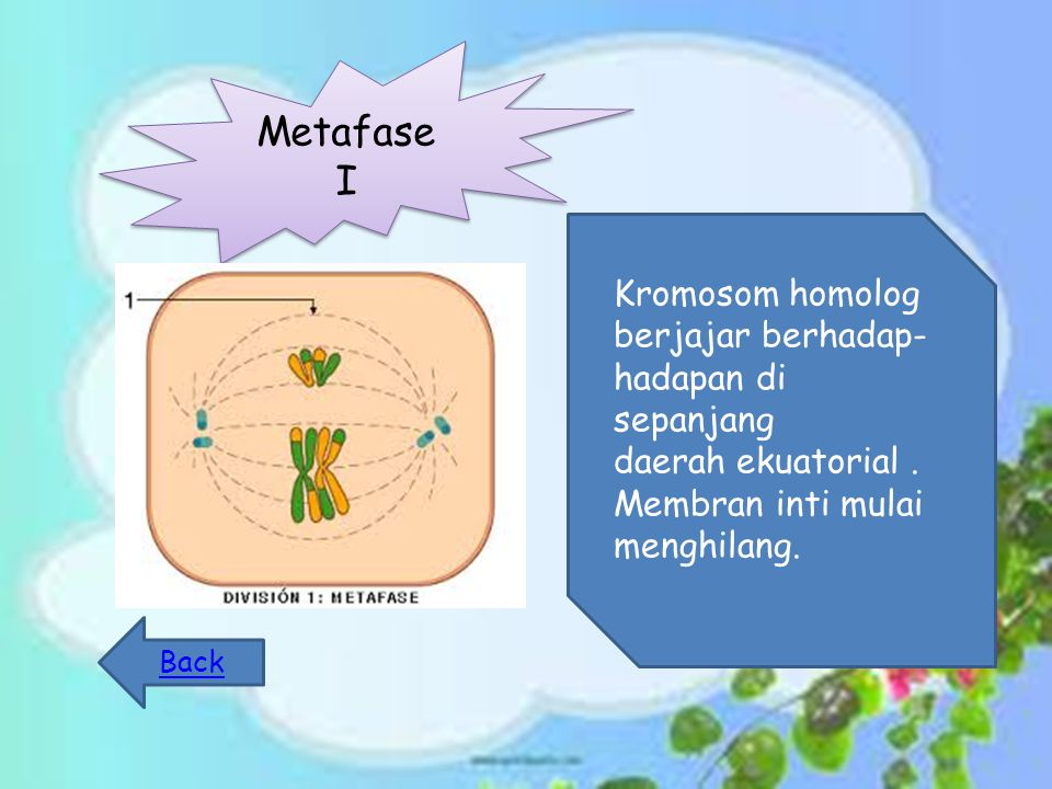 Metafase I Kromosom homolog berjajar berhadap- hadapan di sepanjang daerah ekuatorial.