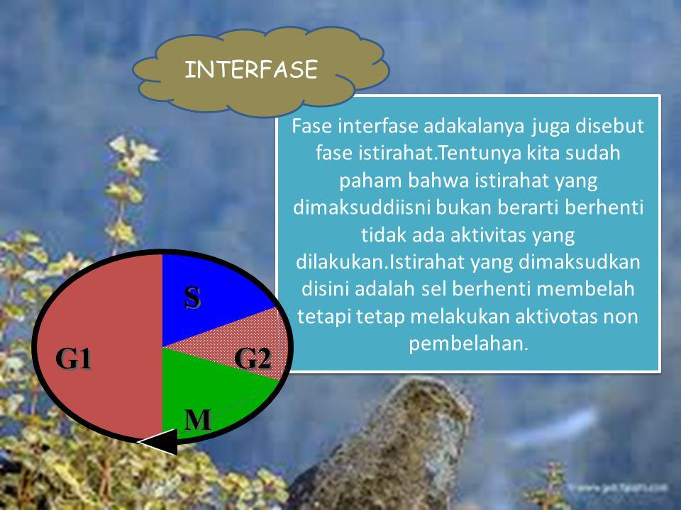 Fase interfase adakalanya juga disebut fase istirahat.Tentunya kita sudah paham bahwa istirahat yang dimaksuddiisni bukan berarti berhenti tidak ada aktivitas yang dilakukan.Istirahat yang dimaksudkan disini adalah sel berhenti membelah tetapi tetap melakukan aktivotas non pembelahan.