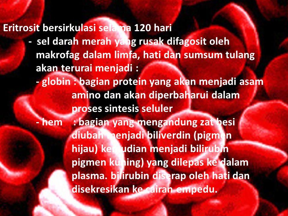 Eritrosit bersirkulasi selama 120 hari - sel darah merah yang rusak difagosit oleh makrofag dalam limfa, hati dan sumsum tulang akan terurai menjadi :