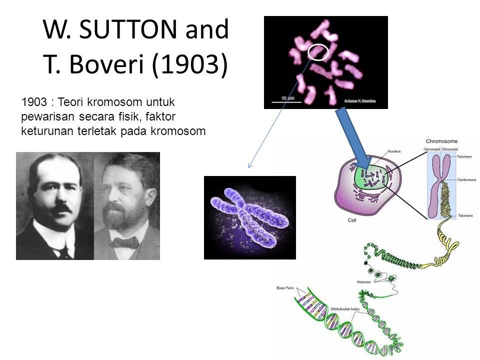 W. SUTTON and T. Boveri (1903) 1903 : Teori kromosom untuk pewarisan secara fisik, faktor keturunan terletak pada kromosom