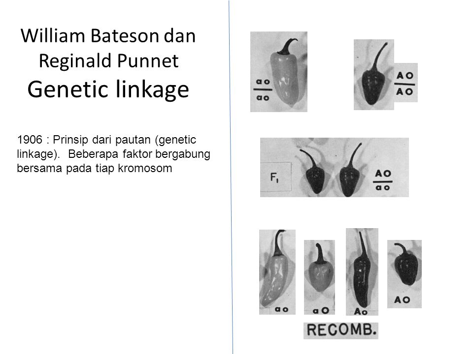 William Bateson dan Reginald Punnet Genetic linkage 1906 : Prinsip dari pautan (genetic linkage). Beberapa faktor bergabung bersama pada tiap kromosom