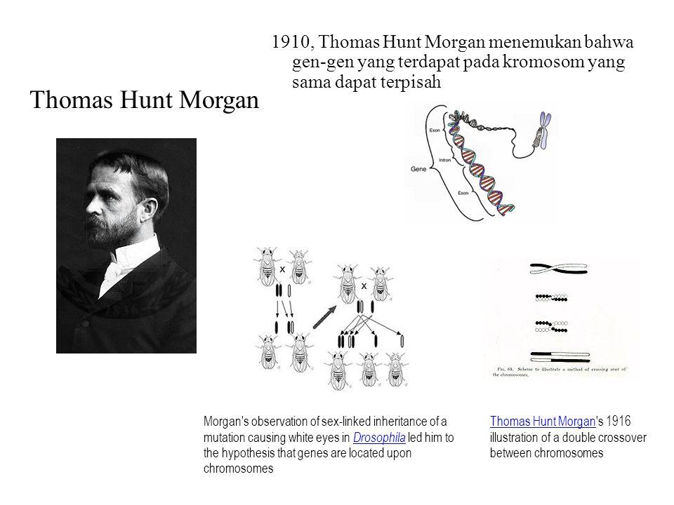 1910, Thomas Hunt Morgan menemukan bahwa gen-gen yang terdapat pada kromosom yang sama dapat terpisah Morgan's observation of sex-linked inheritance o