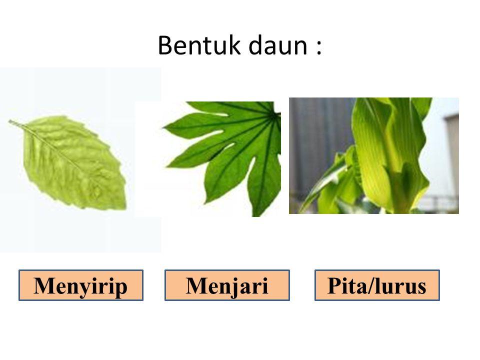 Bentuk daun : MenyiripMenjariPita/lurus