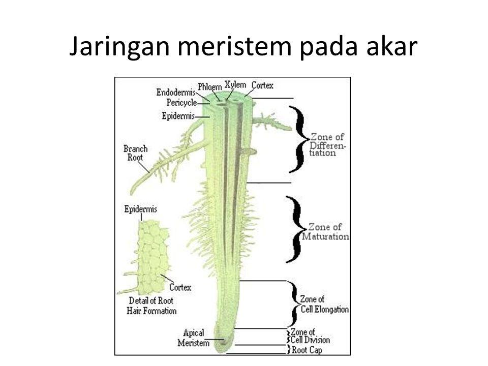 Jaringan meristem pada akar