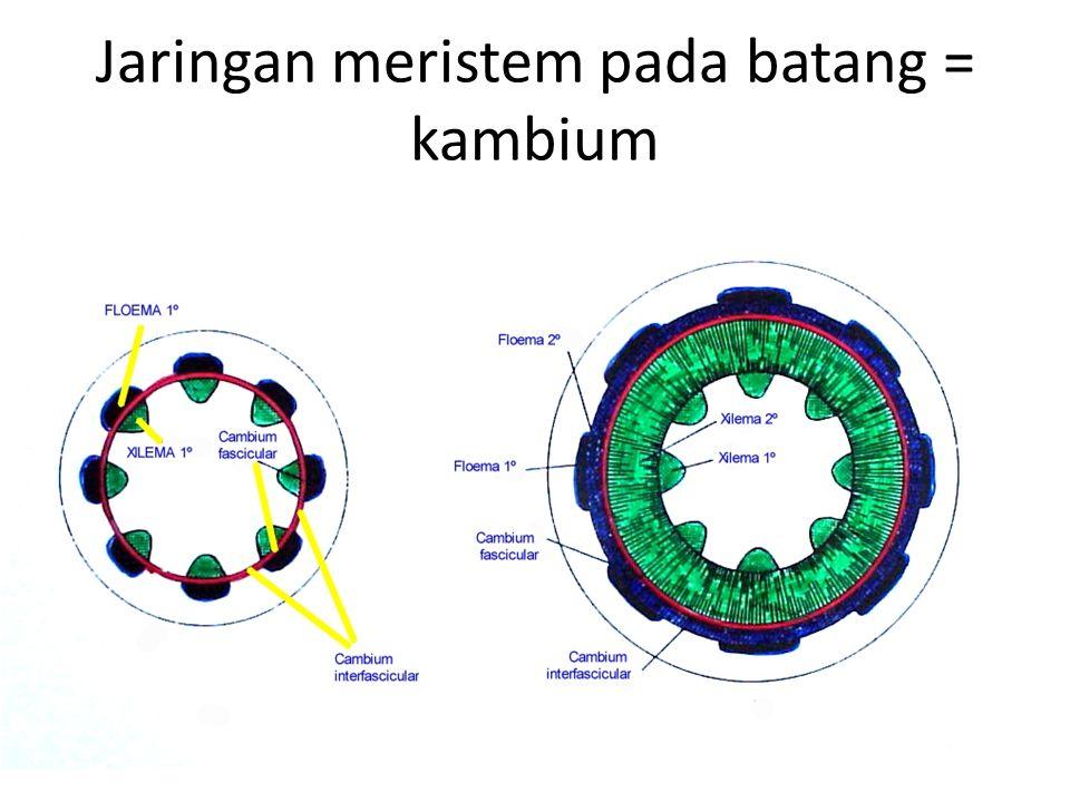 Jaringan meristem pada batang = kambium