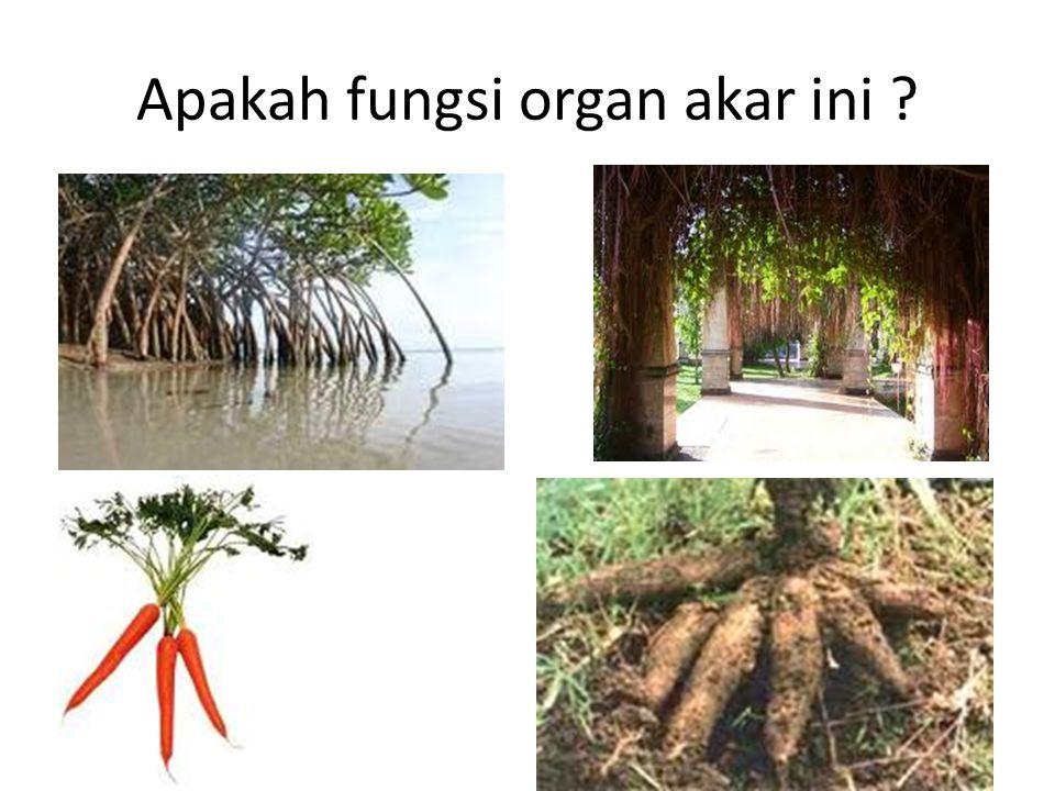 Apakah fungsi organ akar ini ?