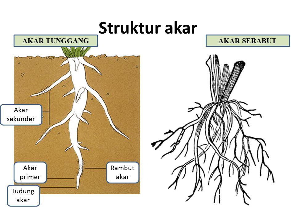 Struktur akar Rambut akar Akar sekunder Akar primer Tudung akar AKAR TUNGGANGAKAR SERABUT