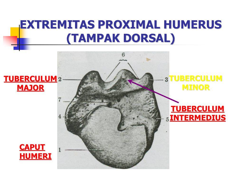 EXTREMITAS PROXIMAL HUMERUS (TAMPAK DORSAL) CAPUT HUMERI CAPUT HUMERI TUBERCULUM MAJOR TUBERCULUM MAJOR TUBERCULUM MINOR TUBERCULUM INTERMEDIUS TUBERCULUM INTERMEDIUS