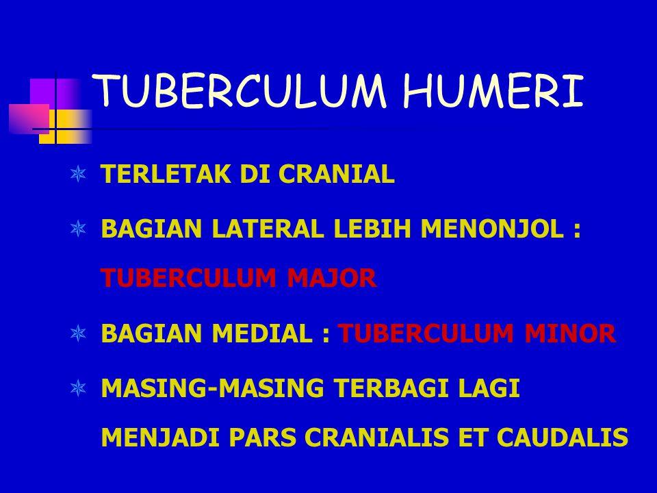 TUBERCULUM HUMERI  TERLETAK DI CRANIAL  BAGIAN LATERAL LEBIH MENONJOL : TUBERCULUM MAJOR  BAGIAN MEDIAL : TUBERCULUM MINOR  MASING-MASING TERBAGI LAGI MENJADI PARS CRANIALIS ET CAUDALIS