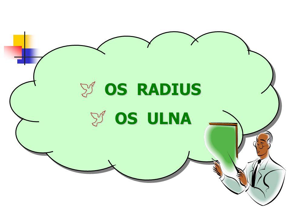  OS RADIUS  OS ULNA