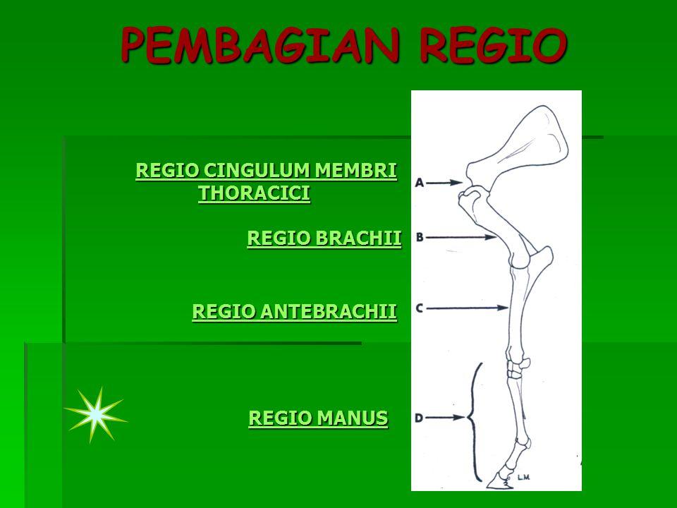 PEMBAGIAN REGIO REGIO CINGULUM MEMBRI THORACICI REGIO CINGULUM MEMBRI THORACICI REGIO BRACHII REGIO BRACHII REGIO ANTEBRACHII REGIO ANTEBRACHII REGIO MANUS REGIO MANUS