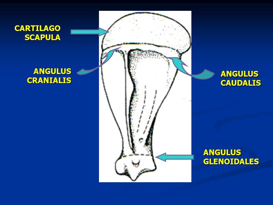 CARTILAGO SCAPULA ANGULUS CAUDALIS ANGULUS CRANIALIS ANGULUS GLENOIDALES