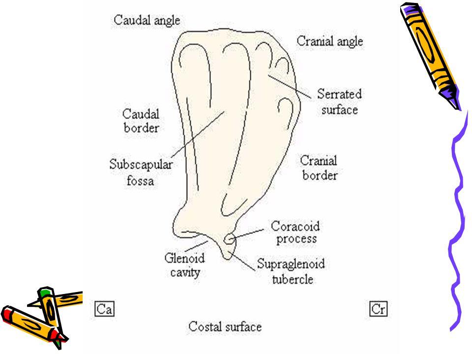DISTAL OS SCAPULA TUBERCULUM SUPRAGLENOIDEUS PROCESSUS CORACOIDEUS INCISSURA GLENOIDALES INCISSURA GLENOIDALES CAVITAS GLENOIDALES