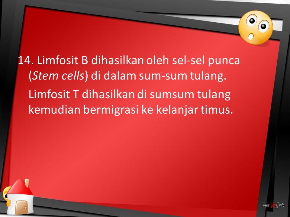14. Limfosit B dihasilkan oleh sel-sel punca (Stem cells) di dalam sum-sum tulang. Limfosit T dihasilkan di sumsum tulang kemudian bermigrasi ke kelan