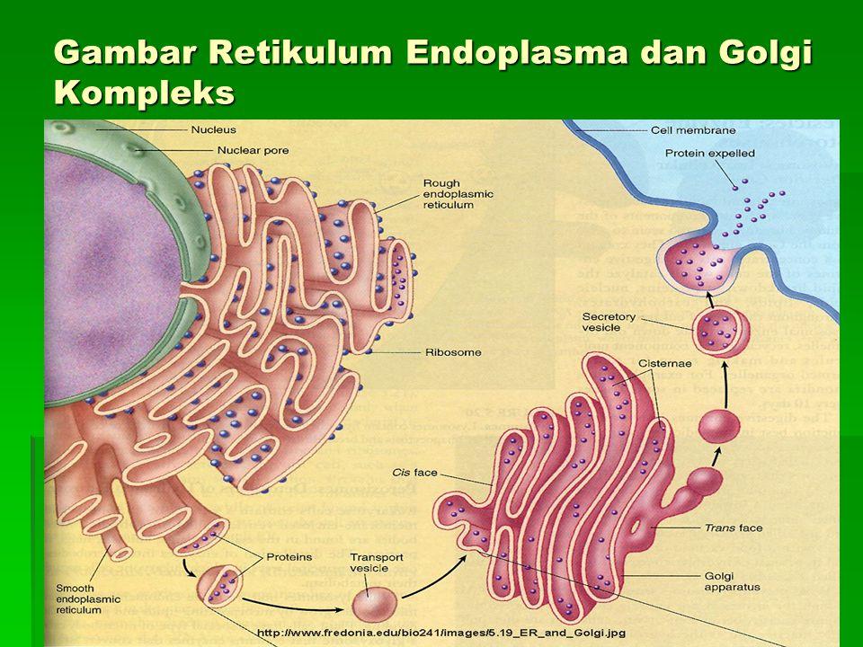 Gambar Retikulum Endoplasma dan Golgi Kompleks