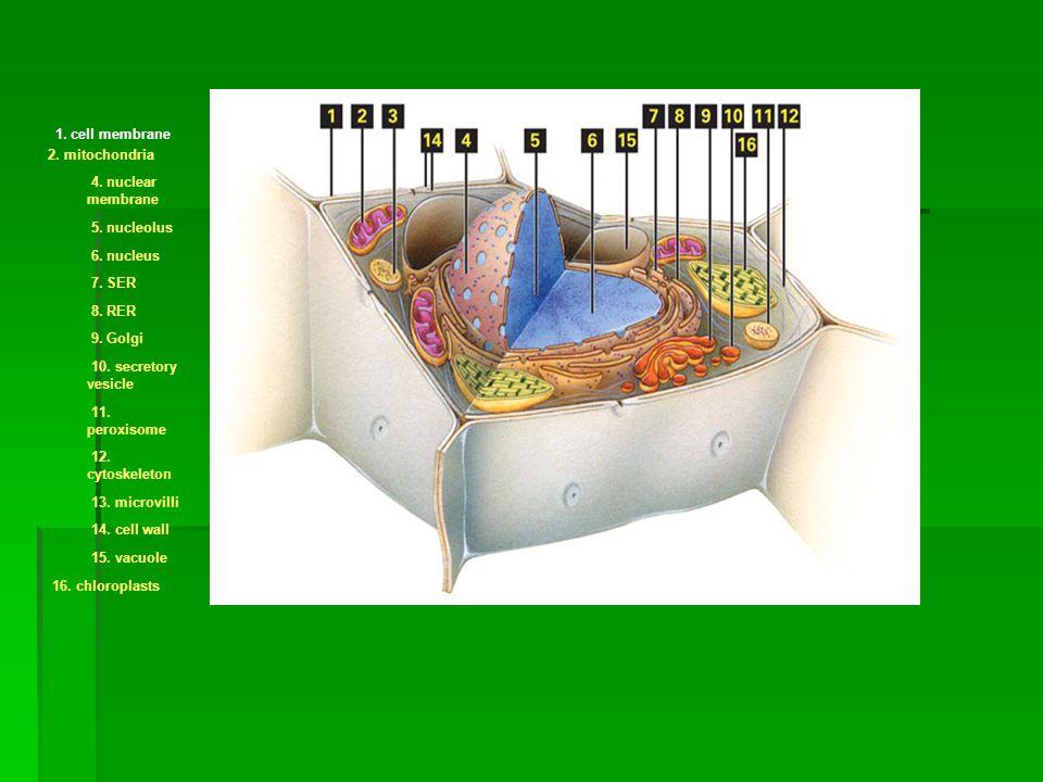 1. cell membrane 2. mitochondria 4. nuclear membrane 5. nucleolus 6. nucleus 7. SER 8. RER 9. Golgi 10. secretory vesicle 11. peroxisome 12. cytoskele