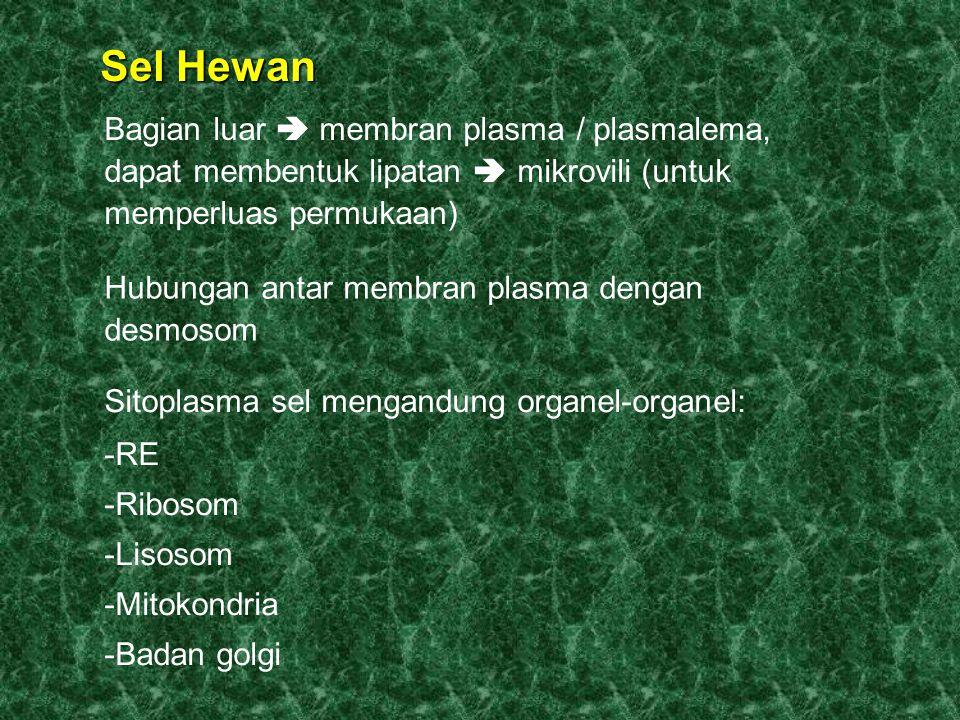 Sel Hewan Bagian luar  membran plasma / plasmalema, dapat membentuk lipatan  mikrovili (untuk memperluas permukaan) Hubungan antar membran plasma dengan desmosom Sitoplasma sel mengandung organel-organel: -RE -Ribosom -Lisosom -Mitokondria -Badan golgi