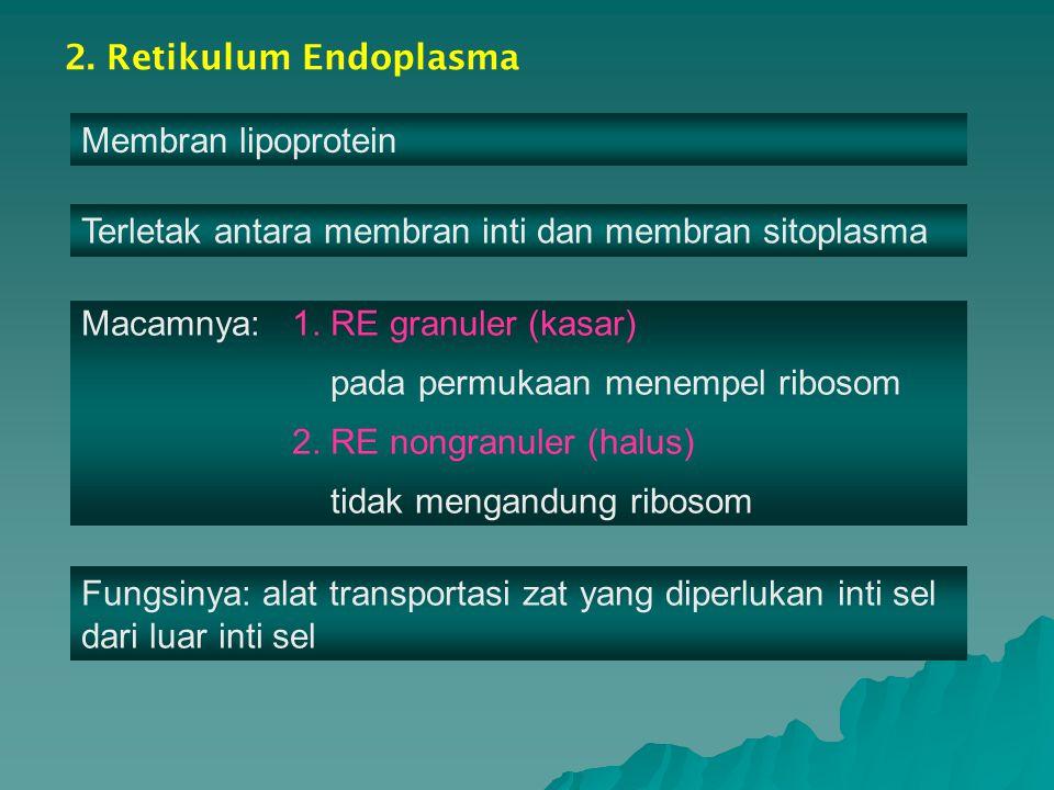 2. Retikulum Endoplasma Membran lipoprotein Terletak antara membran inti dan membran sitoplasma Macamnya: 1. RE granuler (kasar) pada permukaan menemp