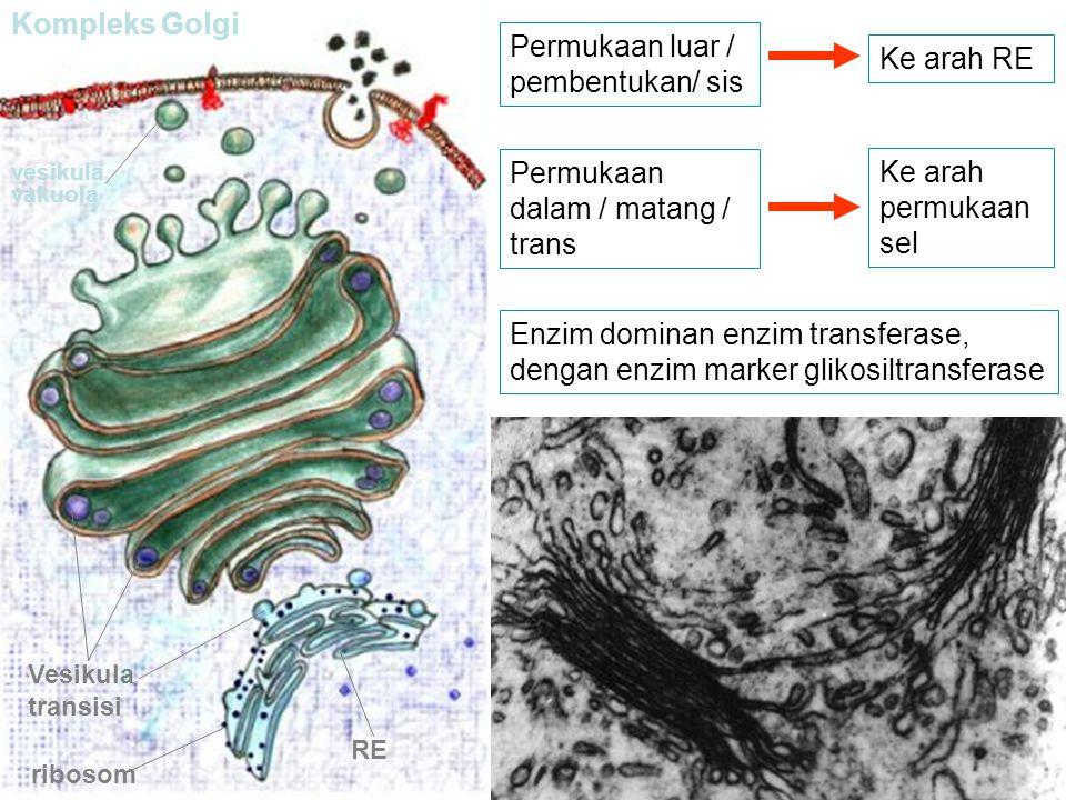 RE ribosom Vesikula transisi Kompleks Golgi vesikula vakuola Permukaan luar / pembentukan/ sis Ke arah RE Permukaan dalam / matang / trans Ke arah per