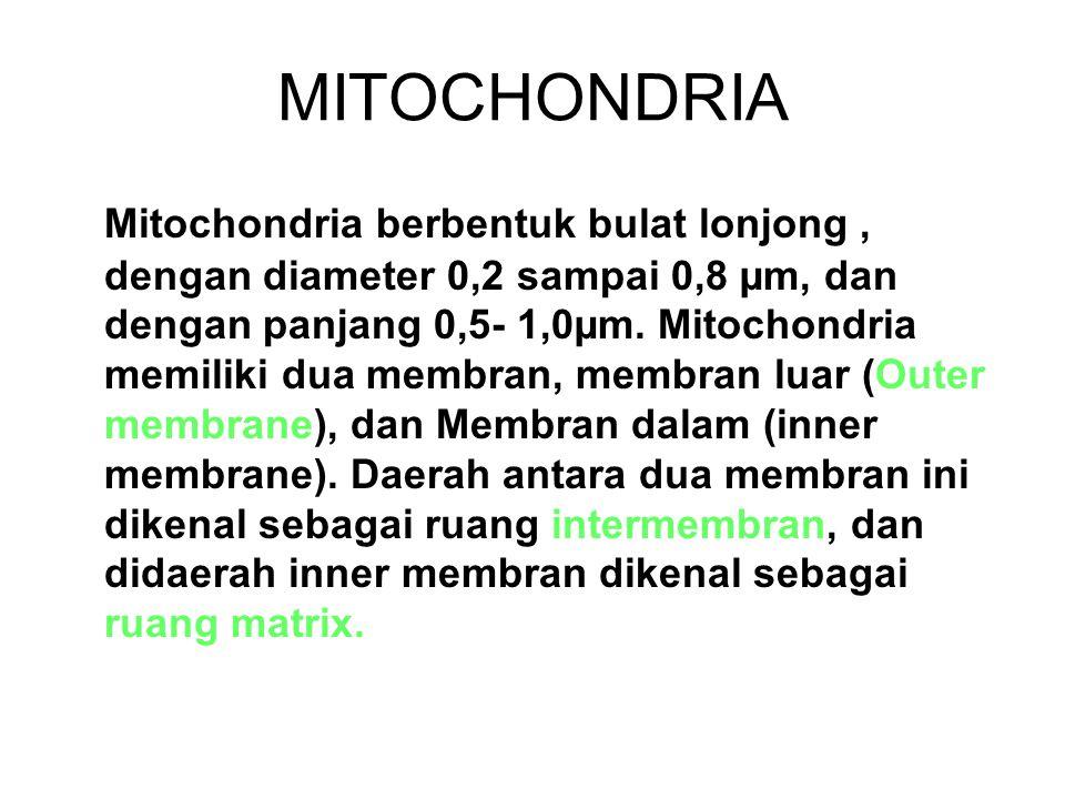 MITOCHONDRIA Mitochondria berbentuk bulat lonjong, dengan diameter 0,2 sampai 0,8 µm, dan dengan panjang 0,5- 1,0µm.
