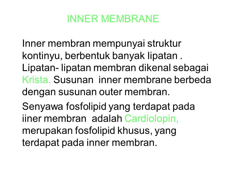 INNER MEMBRANE Inner membran mempunyai struktur kontinyu, berbentuk banyak lipatan.