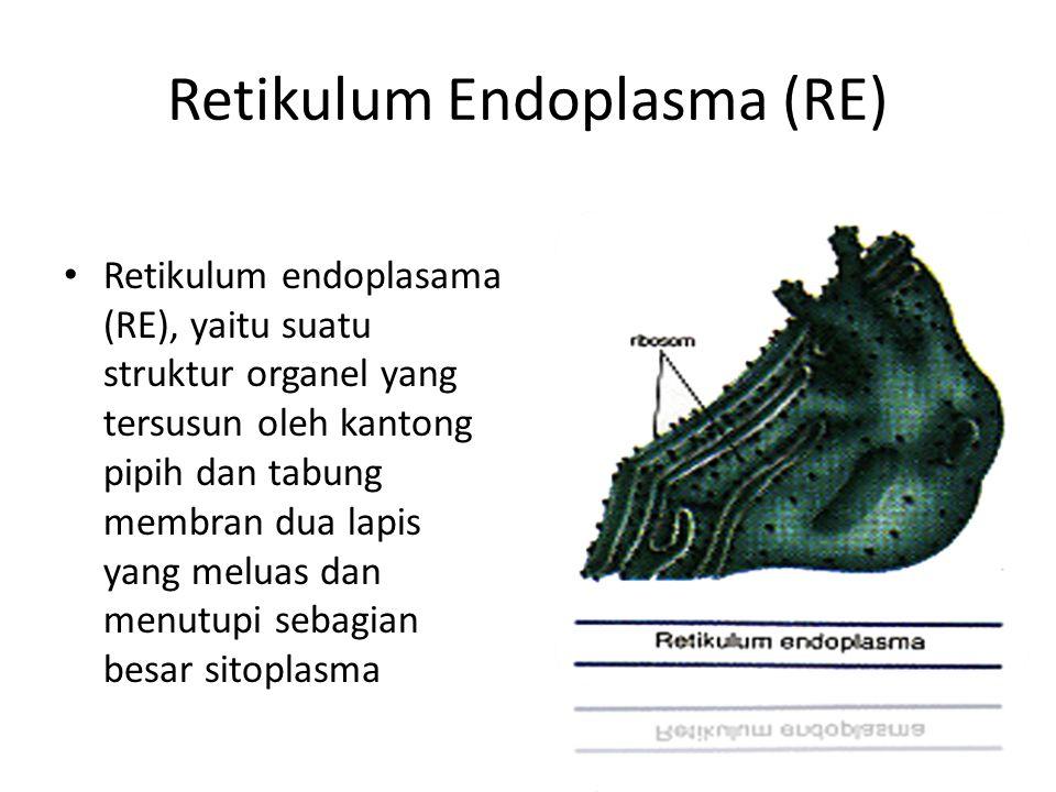 Retikulum Endoplasma (RE) Retikulum endoplasama (RE), yaitu suatu struktur organel yang tersusun oleh kantong pipih dan tabung membran dua lapis yang meluas dan menutupi sebagian besar sitoplasma