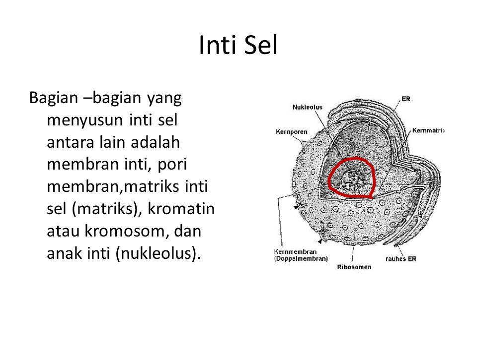 Inti Sel Bagian –bagian yang menyusun inti sel antara lain adalah membran inti, pori membran,matriks inti sel (matriks), kromatin atau kromosom, dan anak inti (nukleolus).