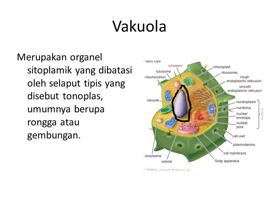 Vakuola Merupakan organel sitoplamik yang dibatasi oleh selaput tipis yang disebut tonoplas, umumnya berupa rongga atau gembungan.