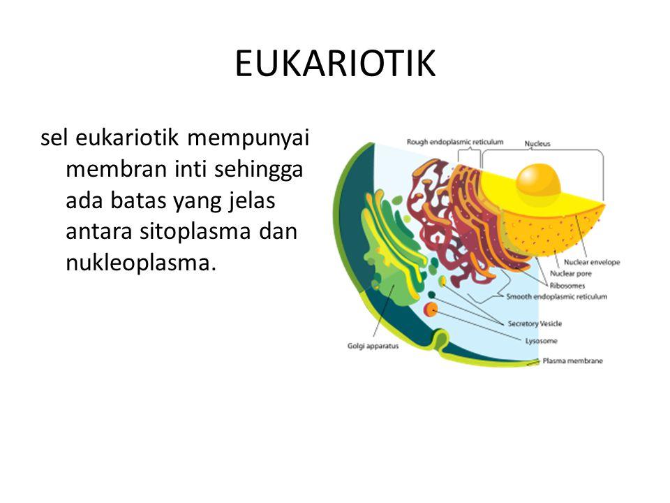 EUKARIOTIK sel eukariotik mempunyai membran inti sehingga ada batas yang jelas antara sitoplasma dan nukleoplasma.
