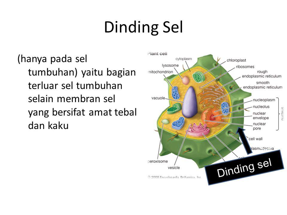 Dinding Sel (hanya pada sel tumbuhan) yaitu bagian terluar sel tumbuhan selain membran sel yang bersifat amat tebal dan kaku Dinding sel