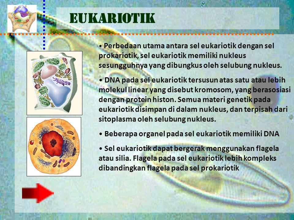 EUKARIOTIK Perbedaan utama antara sel eukariotik dengan sel prokariotik, sel eukariotik memiliki nukleus sesungguhnya yang dibungkus oleh selubung nuk