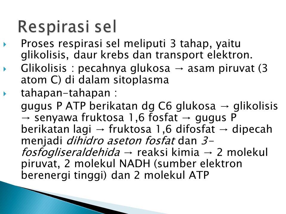  Proses respirasi sel meliputi 3 tahap, yaitu glikolisis, daur krebs dan transport elektron.  Glikolisis : pecahnya glukosa → asam piruvat (3 atom C