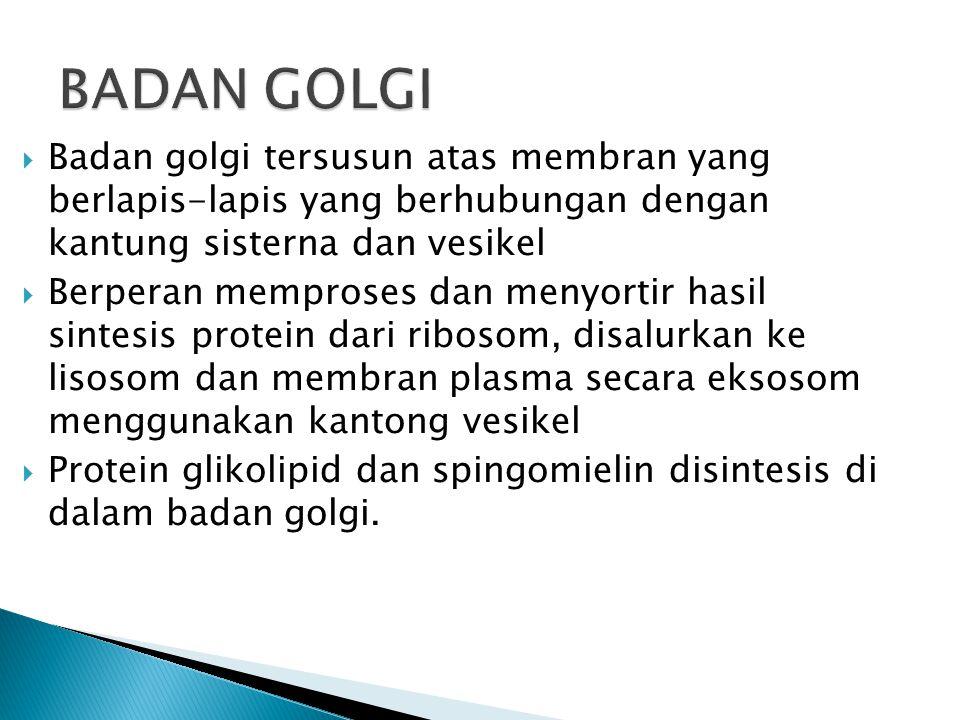  Badan golgi tersusun atas membran yang berlapis-lapis yang berhubungan dengan kantung sisterna dan vesikel  Berperan memproses dan menyortir hasil