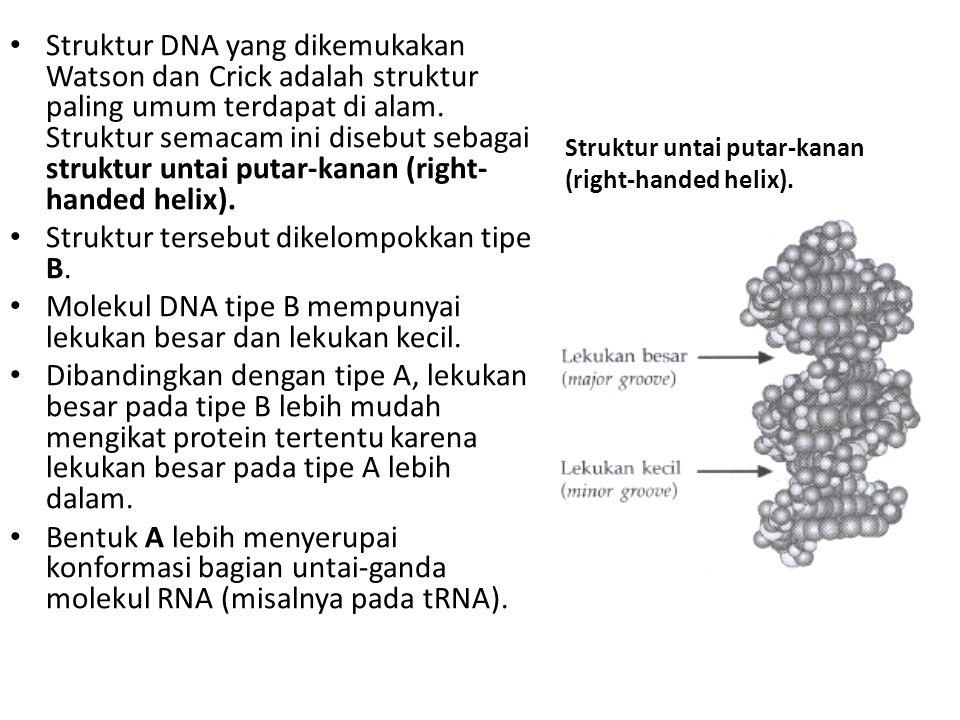 Struktur untai putar-kanan (right-handed helix). Struktur DNA yang dikemukakan Watson dan Crick adalah struktur paling umum terdapat di alam. Struktur