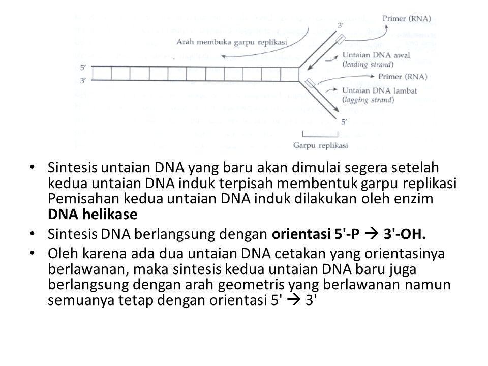 Sintesis untaian DNA yang baru akan dimulai segera setelah kedua untaian DNA induk terpisah membentuk garpu replikasi Pemisahan kedua untaian DNA indu