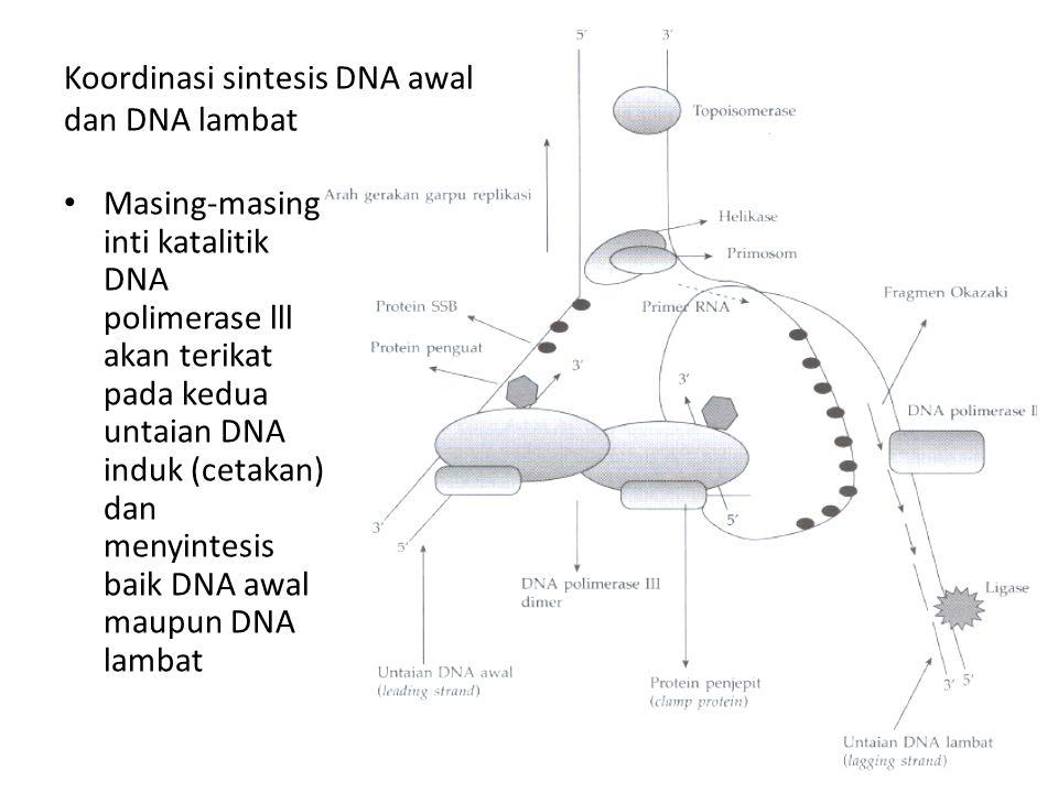 Koordinasi sintesis DNA awal dan DNA lambat Masing-masing inti katalitik DNA polimerase lll akan terikat pada kedua untaian DNA induk (cetakan) dan me