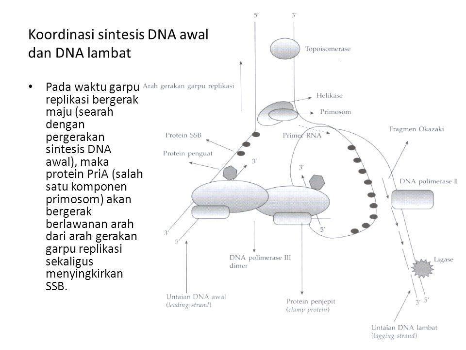 Koordinasi sintesis DNA awal dan DNA lambat Pada waktu garpu replikasi bergerak maju (searah dengan pergerakan sintesis DNA awal), maka protein PriA (
