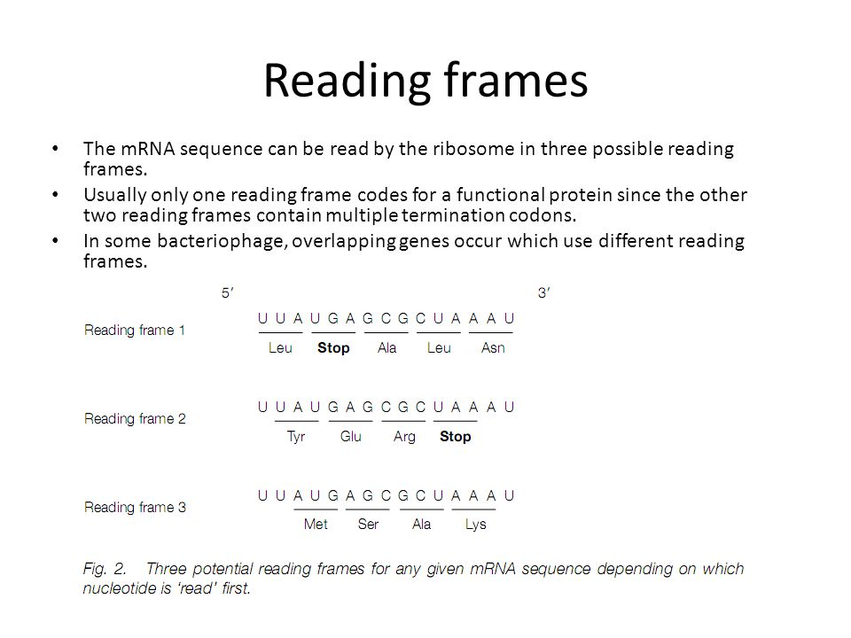 Reading frames The mRNA sequence can be read by the ribosome in three possible reading frames. Usually only one reading frame codes for a functional p