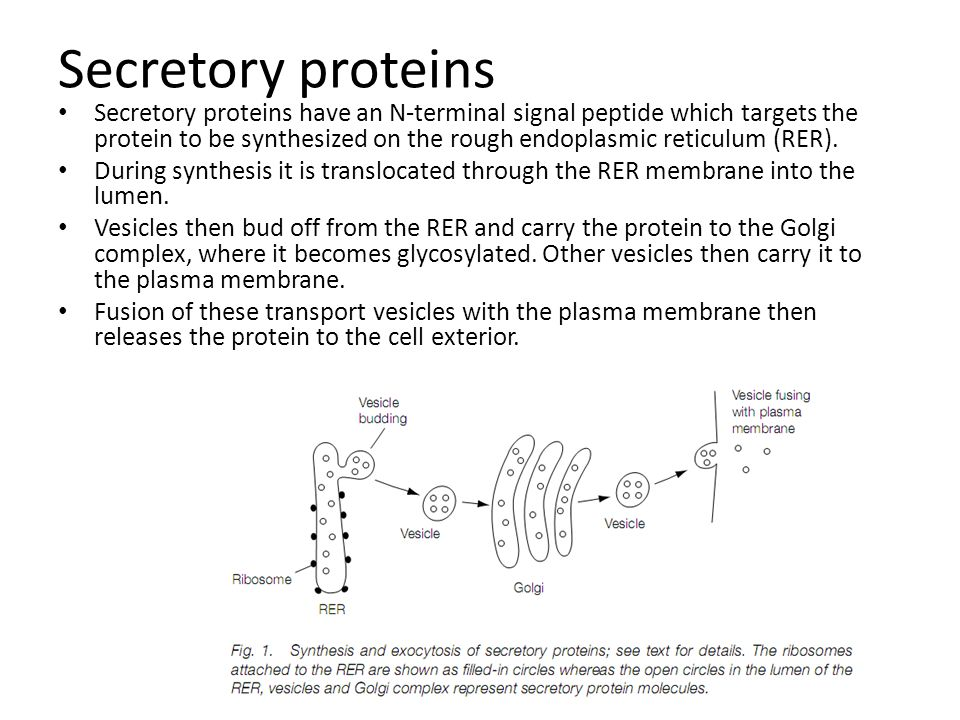 Secretory proteins Secretory proteins have an N-terminal signal peptide which targets the protein to be synthesized on the rough endoplasmic reticulum
