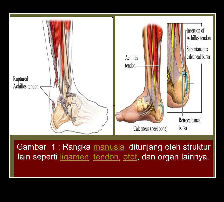 Gambar 1 : Rangka manusia ditunjang oleh struktur lain seperti ligamen, tendon, otot, dan organ lainnya.manusialigamentendonotot