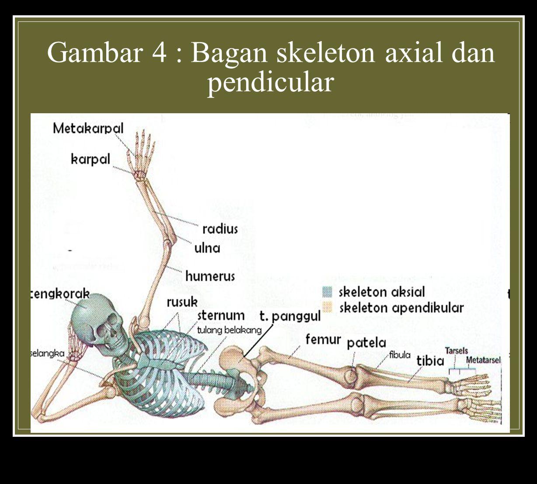 Gambar 4 : Bagan skeleton axial dan pendicular