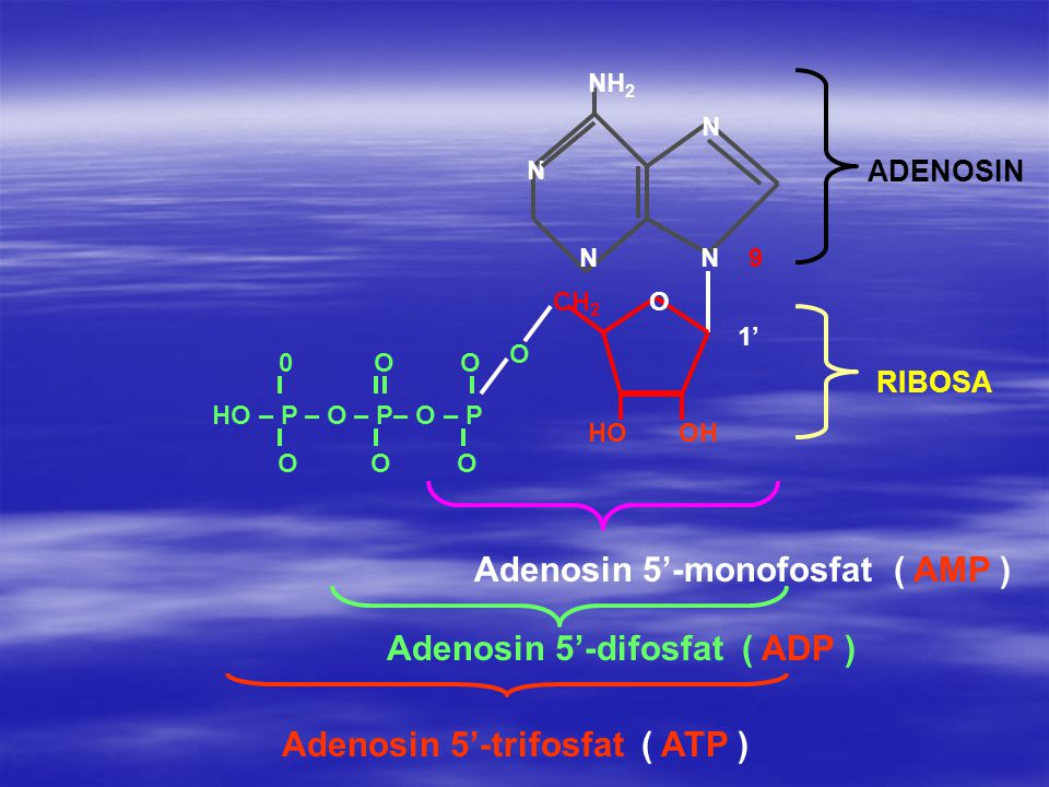 N N 9 CH 2 O HO – P – O – P– O – P O O O 0 O O HO OH N N NH 2 Adenosin 5'-monofosfat ( AMP ) Adenosin 5'-difosfat ( ADP ) Adenosin 5'-trifosfat ( ATP