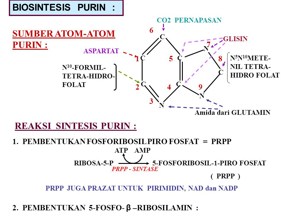 BIOSINTESIS PURIN : SUMBER ATOM-ATOM PURIN : C C C C N N C N CO2 PERNAPASAN GLISIN N 5 N 10 METE- NIL TETRA- HIDRO FOLAT Amida dari GLUTAMIN ASPARTAT